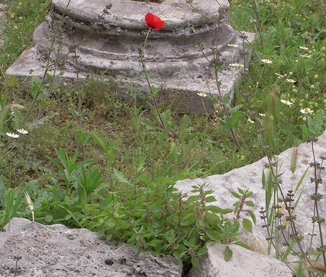Végétal et fin - illustration ruine Rome coquelicot - recherche humanisme
