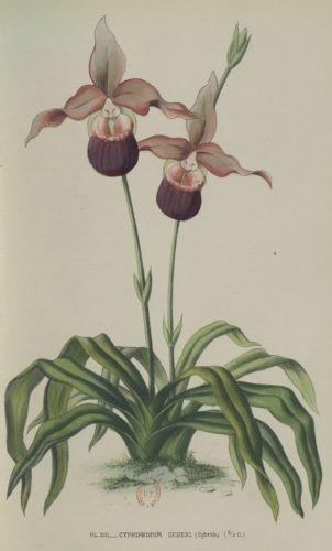 Estampe ancienne représentant des orchidées